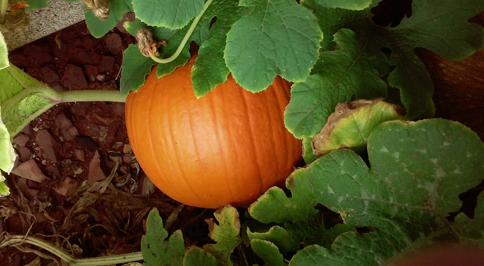 one of our Pumpkins